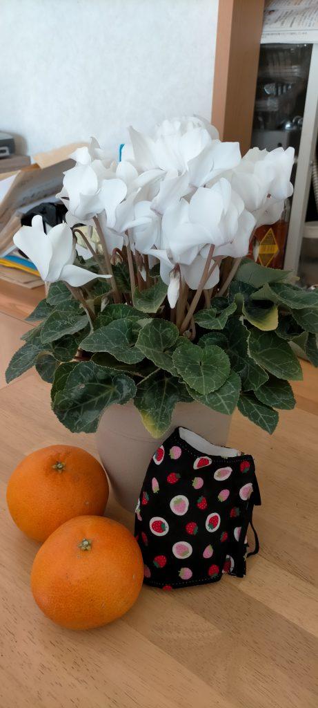 シクラメン 花の写真